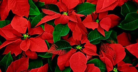 americans-love-the-poinsettia